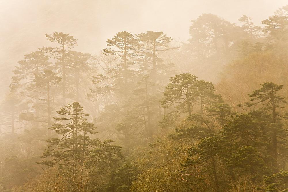 Forest shrouded in mist at dawn above Tengboche Monastery, Khumbu (Everest) region, Sagarmatha National Park, Himalaya Mountains, Nepal.