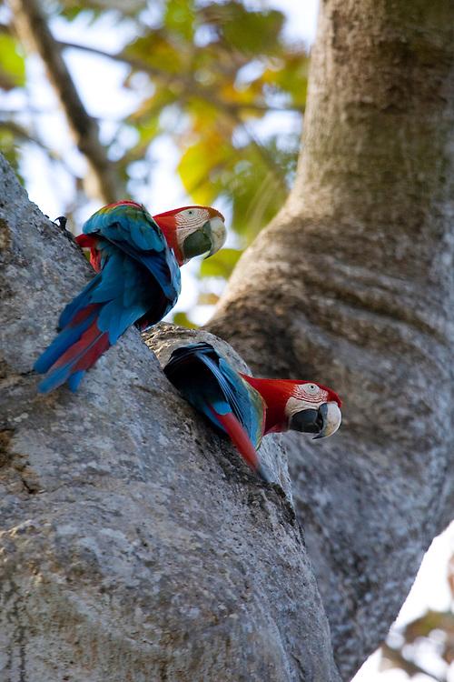 Aquidauana_MS, Brasil...Arara Vermelha (Ara chloropterus) na fazenda Rio Negro no Pantanal...Red-and-green Macaw (Ara chloropterus) in the Rio Negro farm in Pantanal...Foto: JOAO MARCOS ROSA / NITRO