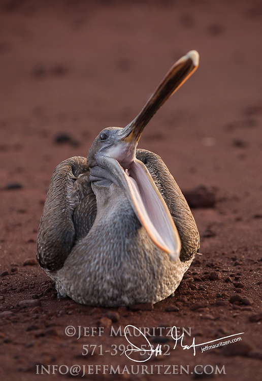A Brown pelican opens its bill while resting on the red sand beach of Rabida island in the Galapagos.