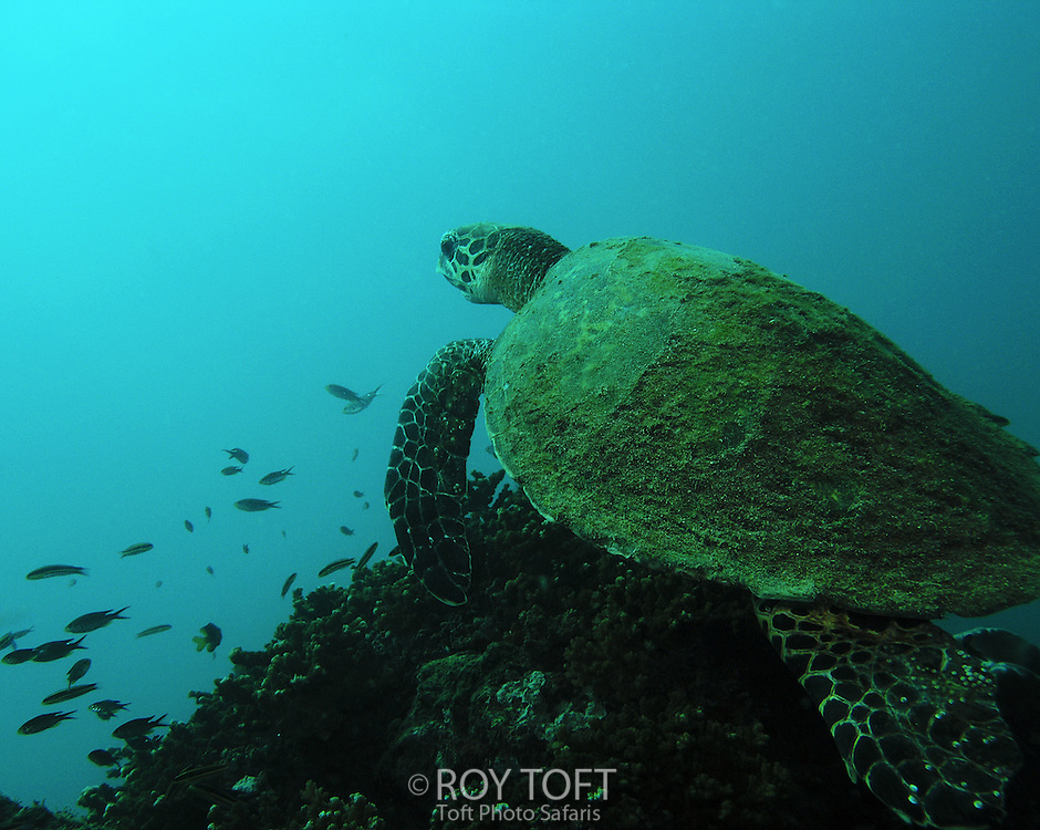 A green sea turtle (Chelonia mydas) swimming over a reef.