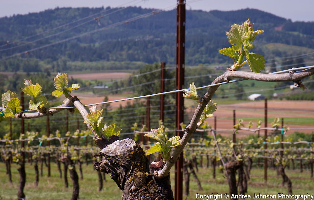 Olenik Vineyard, Newberg, Oregon - used for Ebony wines pinot noir