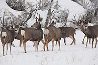 Mule Deer bucks together in a small snow storm you might say this is one of nature's boys clubs.