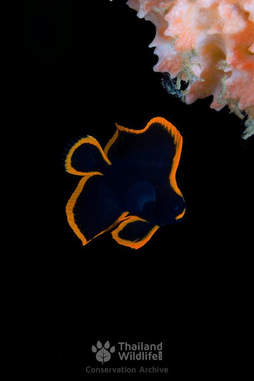 Juvenile Pinnate Batfish Platax pinnatus. at Lembeh Straits, Indonesia.