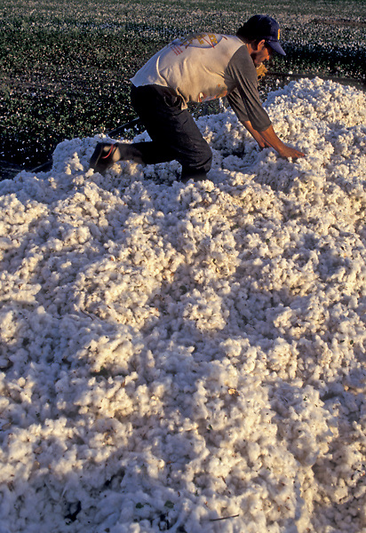 Stock photo of a field worker harvesting cotton in Katy, Texas