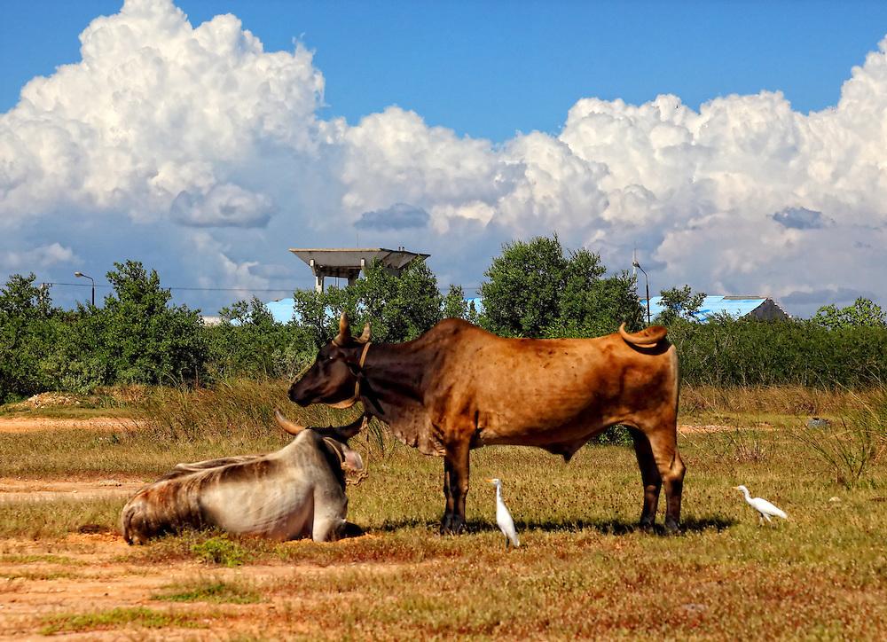 Cows in La Coloma, Pinar del Rio, Cuba.