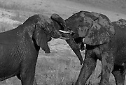 Bull elephants often like to test their strength and spar with other after bathing and drinking. It is a means to ascertian relative dominance in small bachelor groups