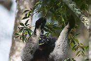 Indri, 大狐猴, インドリ, إندري شائع