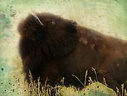 More Buffalo Images