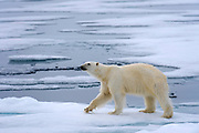 Polar Bear (Ursus maritimus) in the pack ice at 81.5 degrees north off Spitsbergen Svalbard, Norway