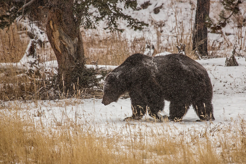 A quiet falls over Yellowstone National Park as winter approaches. It is at this time, when the park sees few visitors, that normally shy  male grizzlies are spotted foraging roadside just prior to entering their dens for hibernation.