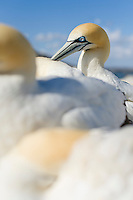 Cape Gannet, Malgas Island, Western Cape, South Africa