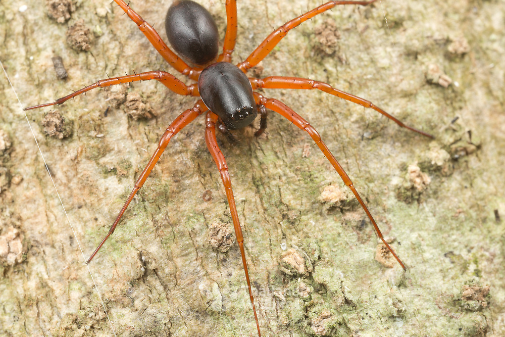 Corinnidae is a family of araneomorph spiders, sometimes called corinnid sac spiders.