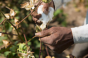 Vallabh Bhai Makwana, in his cotton field, Ahmedabad, India.<br /> <br /> Vallabh has recently installed some drip irrigation on his farm and is seeing some real improvements in his cotton plants but he is also saving water and time.