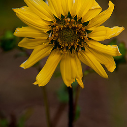 Sunflower, Vero Beach, Florida, US