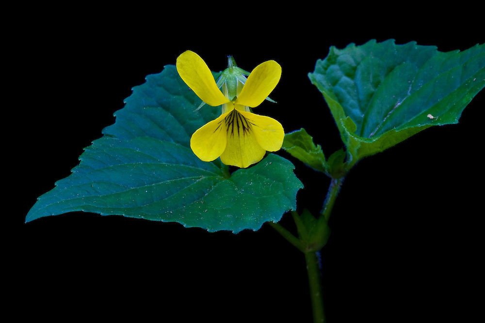 Close-up of a downy yellow violet (Viola pubescens), Trout Run Park, George Washington Memorial Parkway, Virginia.