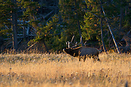 bugling, bull Elk, yellowstone national park