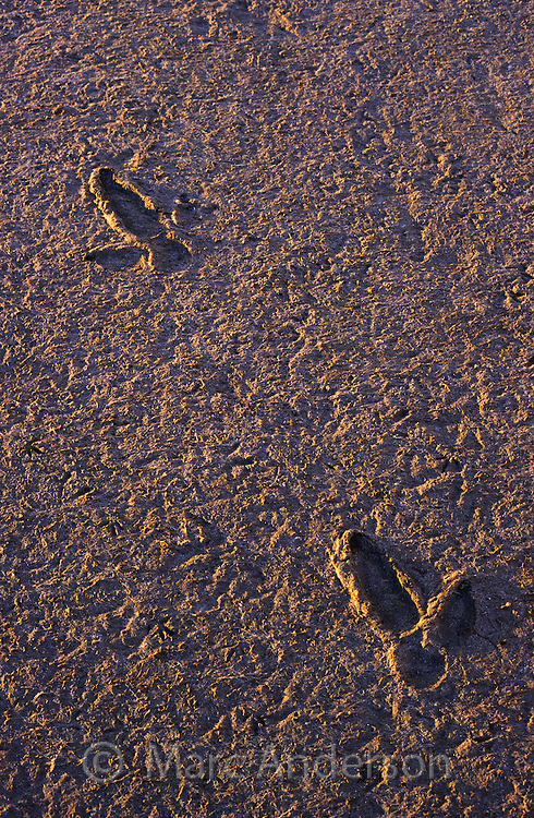Emu footprints in mud, South Australia.
