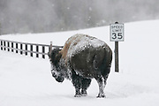 01/08/2005 - Yellowstone National Park, Wyoming - Bison - Buffalo - Humor - Man and Nature - American Bison - A bison in Yellowstone National Park sets to cross a bridge at a speed much slower than the posted speed limit. ..JACK HOWARD PHOTOGRAPH..NOTE: A YELLOW TRAIL MARKER WAS REMOVED FROM THIS IMAGE.