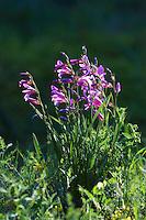 Field Gladiolus  (Gladiolus italicus), Sfaka, Crete