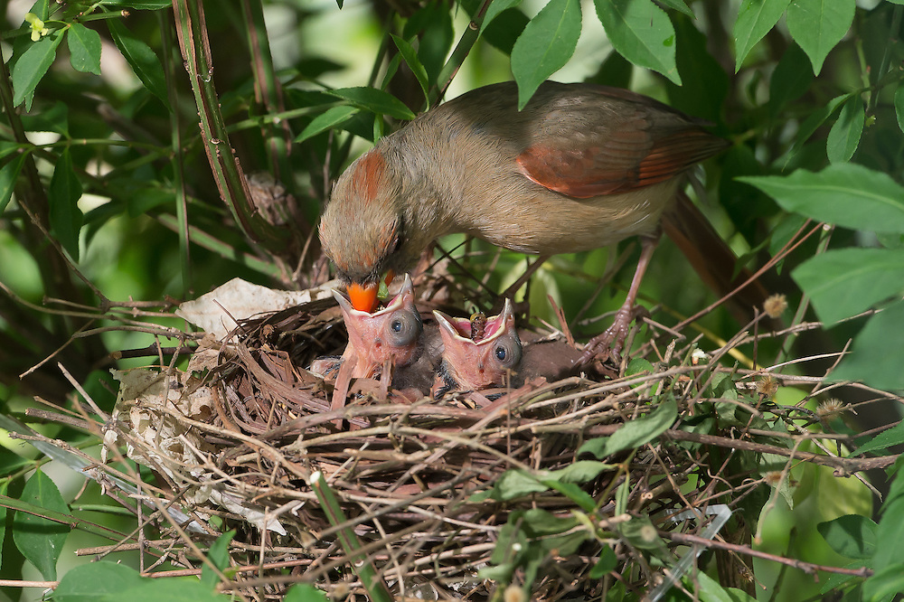 The female cardinal as she approaches the nest vocalizes hard metallic chirps to identify the chicks of their parents.  The chicks immediately raise their necks for food placement.