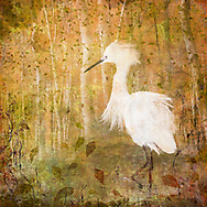 Snowy egret against a fall toned aspen forest and swirling leaves.