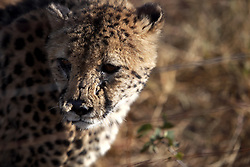 NAMIBIA KAMANJAB 27APR14 - A cheetah prowls though a large enclosure at the Ojitotongwe Cheetah farm near Kamanjab, Namibia.<br /> <br /> <br /> <br /> jre/Photo by Jiri Rezac<br /> <br /> <br /> <br /> © Jiri Rezac 2014