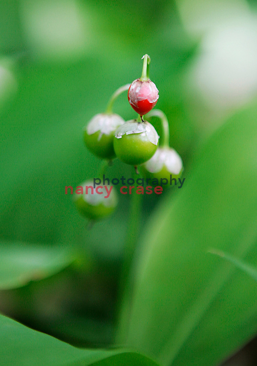 Small forest berries or a Lily of the Valley flower ripen in the late summer in a forest far north of a town in Michigan.
