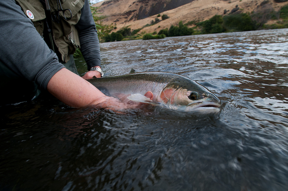 A fisherman holds a steelhead on the Deschutes River.
