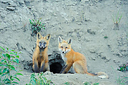 Red fox (Vulpes vulpes)  pups in fromt of den<br />