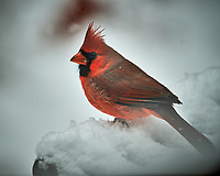 Male Northern Cardinal on a snowy day. Image taken with a Nikon D5 camera and 600 mm f/4 VRII lens (ISO 40, 600 mm, f/4, 1/1250 sec).