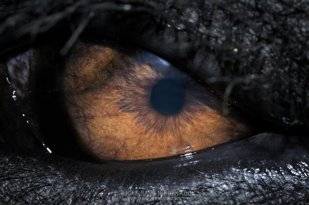 DEU, Deutschland: Asiatischer Elefant (Elephas maximus), Augentyp: Linsenauge; Krefeld, Nordrhein-Westfalen | DEU, Germany: Asian Elephant (Elephas maximus), type of eye: lens eye, Krefeld, North Rhine-Westphalia