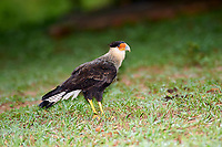 Crested Caracara (Polyborus plancus), Araras Ecolodge,  Mato Grosso, Brazil (Photo: Peter Llewellyn)
