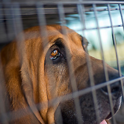 101410       Brian Leddy.Zeus, a tracking dog with the Laguna Detention Center, peers out from his cage.