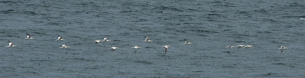 Gannets Flying in Line back to Bass Rock. Isle of May, Scotland.