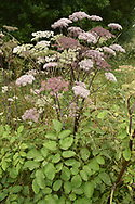 Wild Angelica - Angelica sylvestris