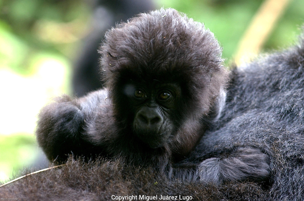 Virunga National Park, Democratic Republic of Congo: This baby mountain gorilla is not named yet. The number of births this year: two. The number of gorillas that have been killed: seven. Conservationists and underpaid, ill equipped Congolese park rangers worry they are losing a battle against warring militias that have set up camp in the park, and are suspected of killing the gorillas. (PHOTO: MIGUEL JUAREZ LUGO).