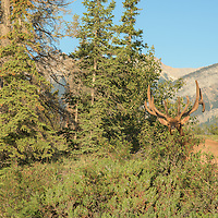 bull elk standing alone in large lake river