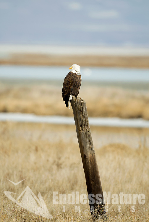 A Bald Eagle perched on an old pole in the wetlands sometimes this is the only height advantage they can find.