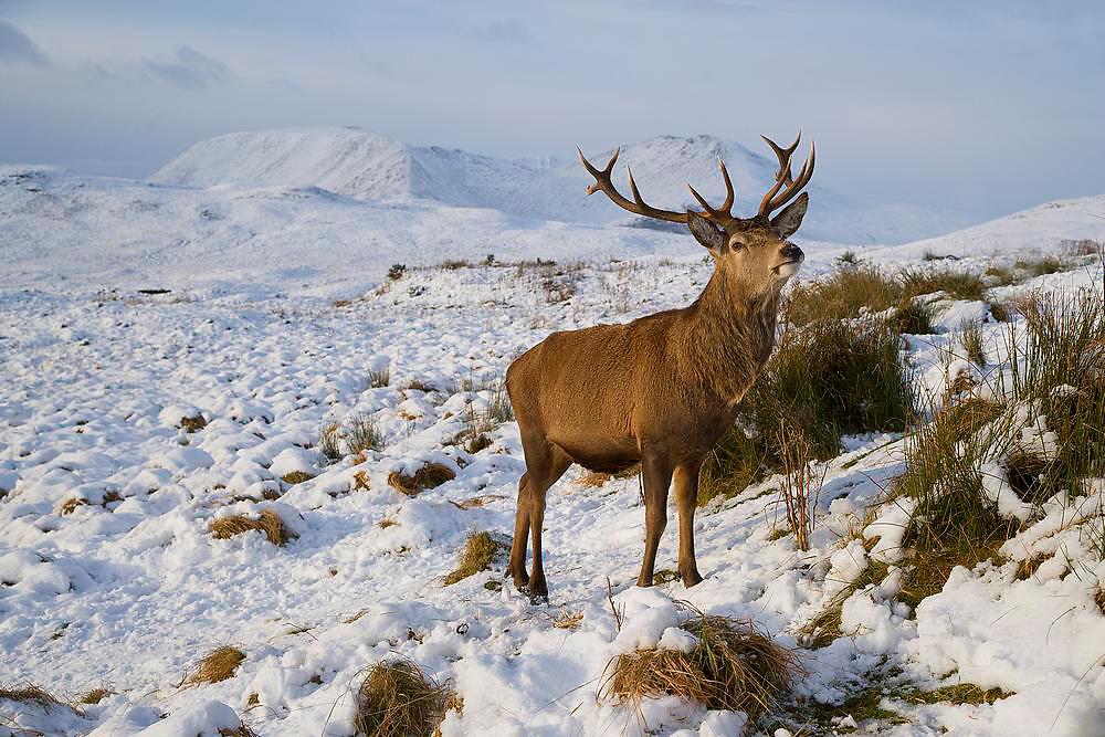 Wild deer/Stag, Rannoch Moor, West Highlands