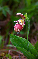 Lady's slipper orchid in Kodiak, Alaska meadow