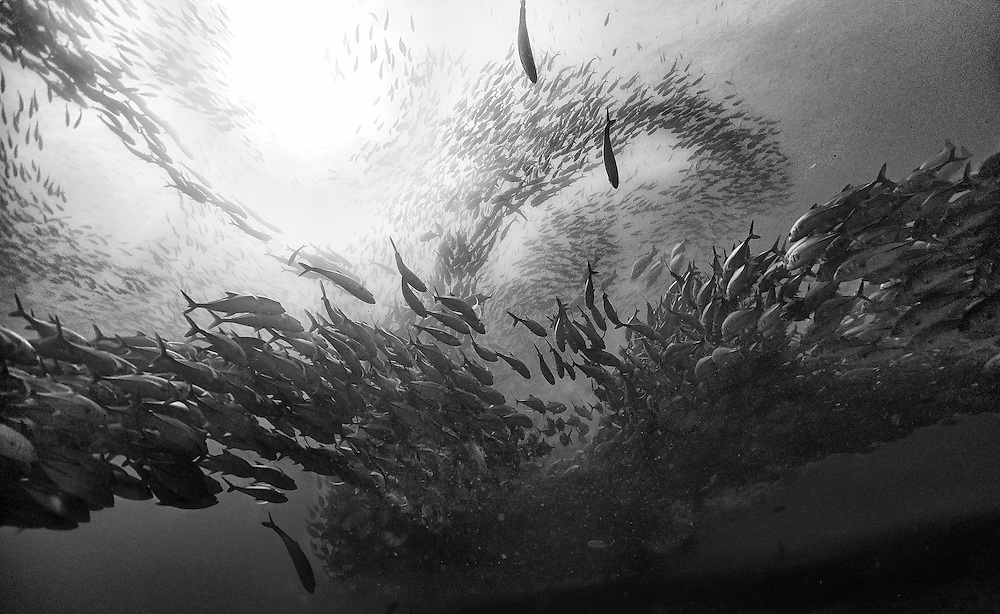 Surrounded by a swarm of jack fish in Cabo Pulmo National Park, Mexico. Cabo Pulmo is the best example of a recovered reef in Mexican seas. A few years ago the fisherman of  Cabo Pulmo fished all the reef to the point that fishing stopped being a way to sustain their households and life in the reef was obliterated. So they decided to totally stop fishing and few years latter the reef recovered to an astonishing level, and it is today the best example of what the Sea of Cortes used to be like