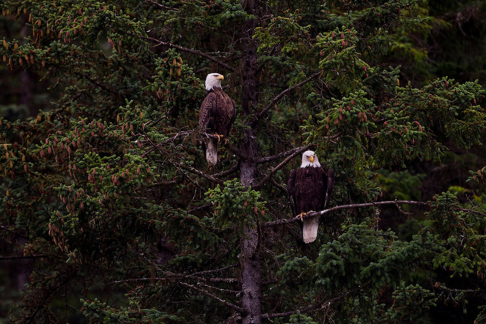 Alaska2010.-A pair of Bald Eagles sit in a tree in Homer Alaska.