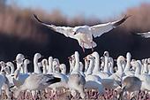 Fantastic Flocks