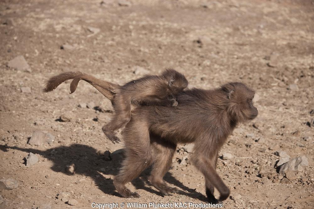 Gelada (Theropithecus gelada), ? female, carrying young on back, Semian Mountains, Ethiopia