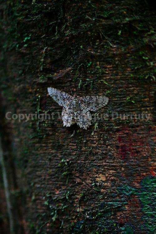 night butterfly, Corcovado National park, Costa Rica // papillon de nuit, Parc national Corcovado, Costa Rica
