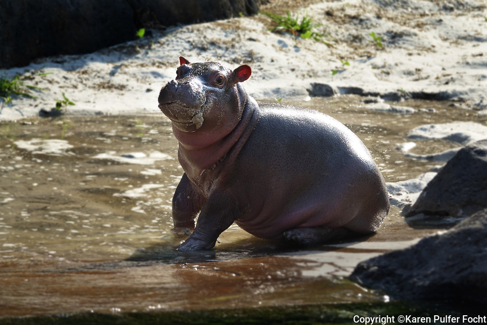 Baby Hippo Winnie at the Memphis Zoo.
