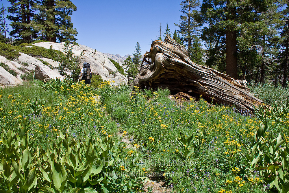 Backpacker hikes southbound along the Pacific Crest Trail, Yosemite National Park