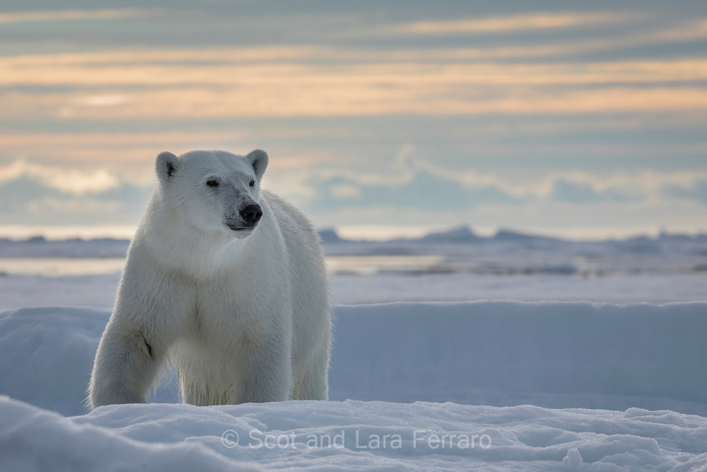The sun is always up above the artic clircle at the beginning of August, but at night it does dip close enough to the horizon to give the sky a beautiful glow.  Here a curious polar bear appoaches while we are safely off the ice in a zodiac.