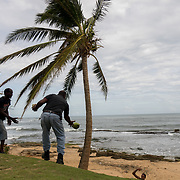 SEPTEMBER 25 - LOIZA, PUERTO RICO - <br /> Men collect coconuts from a palm tree that were knocked  down by the destructive path of Hurricane Maria.<br /> (Photo by Angel Valentin for NPR)