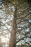 Eastern Redcedar, Mapp Athens, Tree Tour